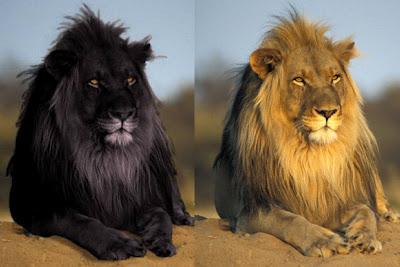 Black lion and tawny original