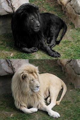 Black lion and white lion original